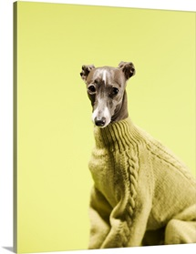 Italian greyhound wearing a sweater
