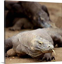 Komodo dragon with tongue sticking out