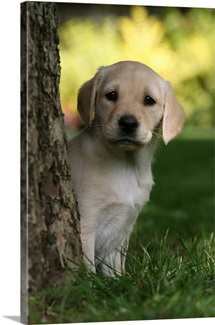 Labrador (Canis lupus familiaris) puppy behind tree, UK