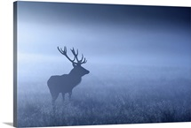 Large adult red deer stag standing in night mist, UK.
