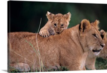 Lion cub (Panthera leo), climbing on mothers back, Kenya