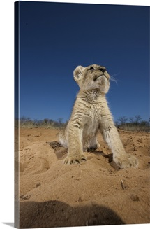 Lion Cub (Panthera Leo) sitting on sand, Namibia