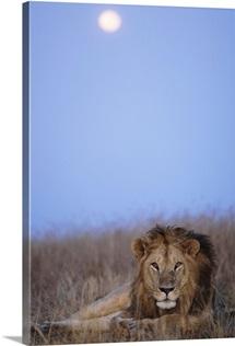 Lion resting in Masai Mara National Reserve, Kenya