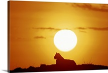 Lioness (Panthera leo) sitting, at sunset, side view, Masai Mara National Park, Kenya