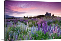 Lupines and Church of Good Shepherd, located at Lake Tekapo, New Zealand
