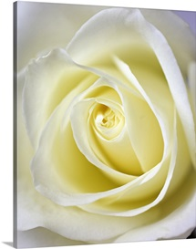 Macro image of the inside of a white rose.