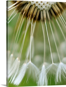 Macro photography of dandelion seeds on dandelion flower.