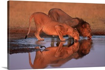 Male and female lions drinking at waterhole, Chobe National Park, Botswana