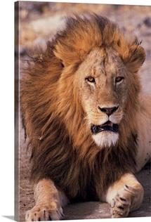 Male lion in Ngorongoro Crater , Tanzania