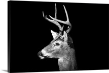 Male White Tailed Deer with antlers in black and white on an all black background.