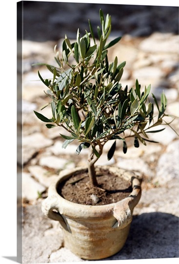 Miniature olive tree growing in a rustic terracotta pot in for Fertilizing olive trees in pots