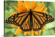 Monarch butterfly (Danaus plexippus) on pot marigold (Calendula officinalis).