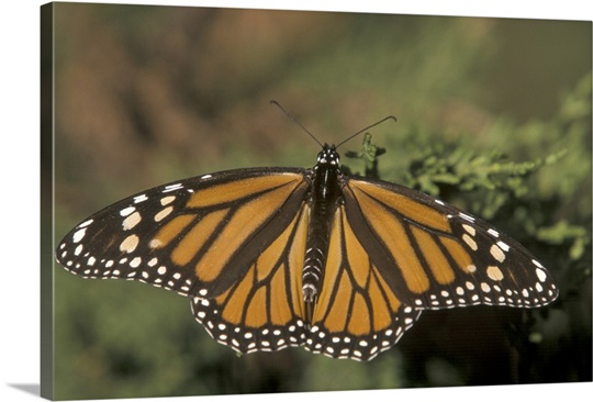 Monarch butterfly, Santa Cruz, California