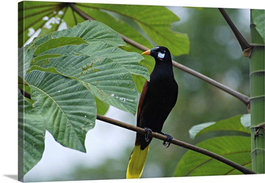 Montezuma Oropendola, Psarocolius montezuma, Costa Rica