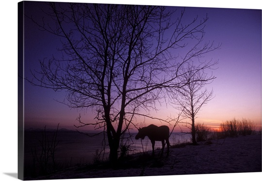 Moose, Alces alces, at sunset above Cook Inlet, Kenai Peninsula. Alaska. USA