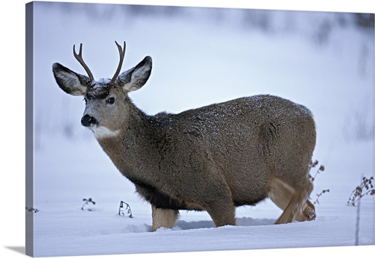 Mule Deer buck, Odocoileus hemionus, walking in deep snow. North America