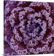Ornamental Cabbage. Close up of frosty purple leaves