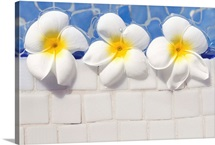 Over head view of frangipani flowers floating in swimming pool.