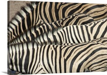 Overhead view of Burchell's Zebra (Equus Burchellii) necks and backs, Namibia