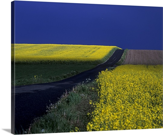 Paved road along fields in bloom in countryside, Vallby Skane, Sweden