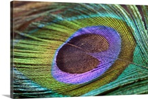 Peacock feather close up.