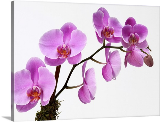Pink Phalaenopsis Orchid Spray Photo Canvas Print Great