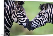 Plains zebra (Equus quagga) pair interacting