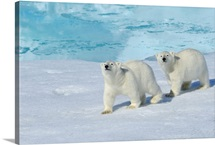 Polar bear, two cups on pack ice, North East Greenland Coast, Greenland, Arctic