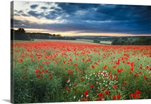 Poppies and daisies flowers in rolling Dorset Landscape.