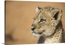 Portrait of Lion cub (Panthera Leo), Namibia