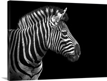Portrait of zebra in black and white on black background. Taken at Nashville Zoo.