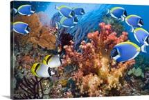 Powder-blue surgeonfish over corals