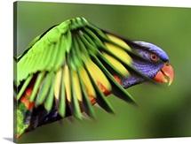 Rainbow Lorikeet in flight.