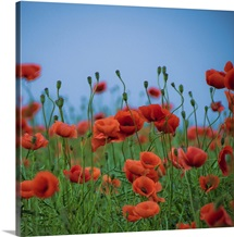Red poppies on vibrant green grass and blue sky.