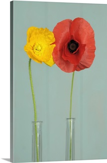 Red poppy and Icelandic poppy