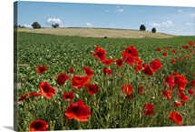 Red poppy field under blue sky