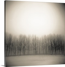Row of poplar trees in winter.
