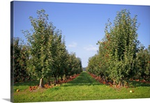 Rows of apple trees in an orchard, Everson, Washington