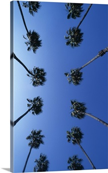 Rows of palm trees, view from below, Hollywood, Los Angles, California, USA