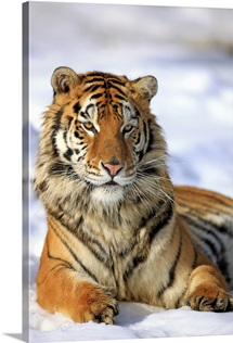 Siberian Tiger, Panthera tigris altaica, Asia, young male in winter