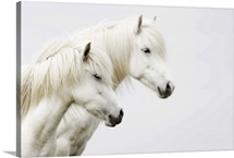 Side face of two white horses