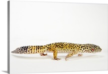 Side view of leopard gecko lizard
