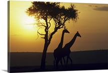 Silhouetted giraffes at sunset, Africa