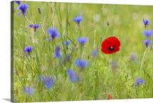 Single red poppy among wild cornflowers in a meadow, Monti Sibillini National Park