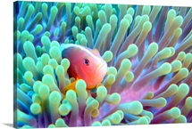 Skunk clownfish and sea anemone.
