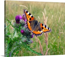 Small tortoiseshell butterfly.