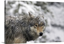 Soggy grey wolf on prowl in Yellowstone National Park.