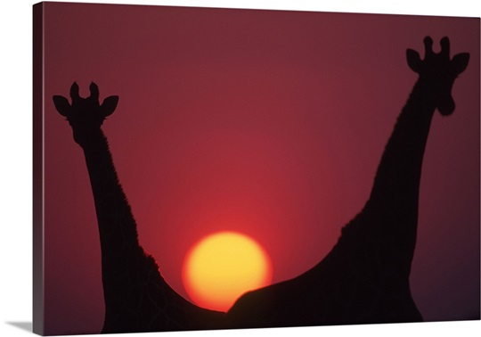 Southern giraffes silhouetted against sunset, Etosha National Park, Namibia