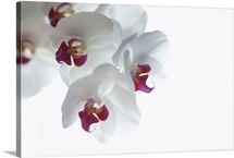 Sprig of white and pink Orchid blossoms (phalaenopsis) on bright white background.