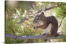 Squirrel eating a pine cone.